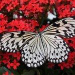 farfalle festa della mamma