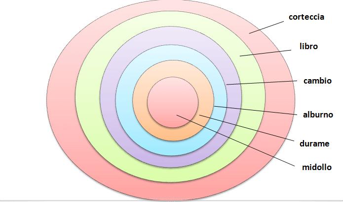 sezione di un tronco di albero